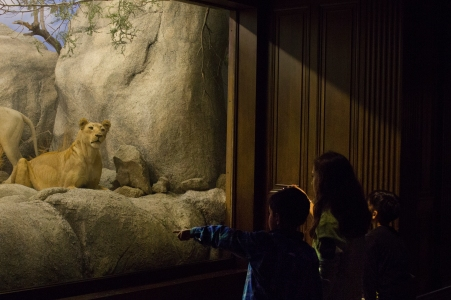 A trio of children observe the lions on display in the African Mammals room at the Los Angeles Museum of Natural History.